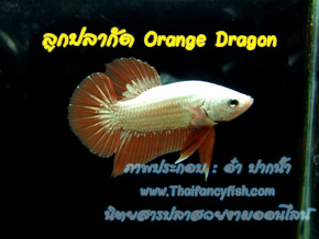 Red Dragon และ Orange Dragon